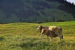 «Les vaches sont chez elles»
