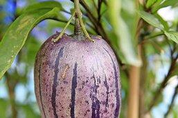 Pepino est une poire qui prend le melon