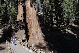 Le pacte du feu des séquoias géants