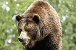 Ours et hommes se mesurent pour une émission de télévision