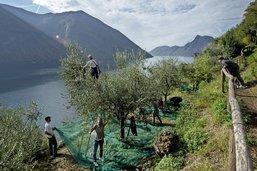 Année désastreuse pour les oliviers