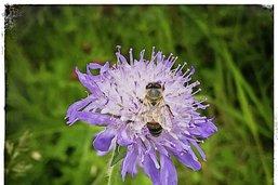 L'apiculture, ennemie des abeilles?