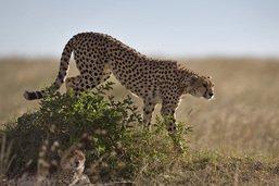 Le guépard saharien réapparaît dans le grand sud algérien