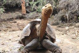 Diego, la tortue qui a sauvé son espèce, de retour aux Galapagos