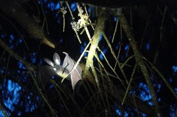 Observer les chauves-souris avec Pro Natura