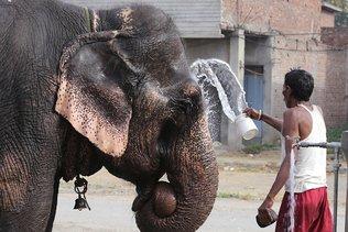 Mort d'une éléphante en Inde: un suspect arrêté