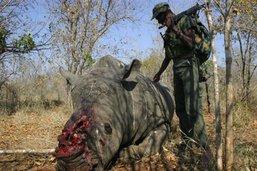 Le nombre de rhinocéros tués divisé par deux en Afrique du Sud