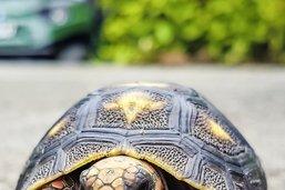 La pauvre tortue prise pour un os