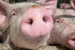 La peste porcine africaine s'approche