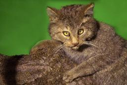 A la découverte du chat sauvage à Bulle