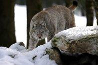 Les grands prédateurs n'ont pas tué sur les alpages