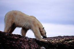 De l'art pour sauver les ours blancs