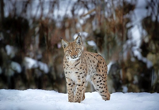 Laurent Geslin filme le lynx comme une perle rare