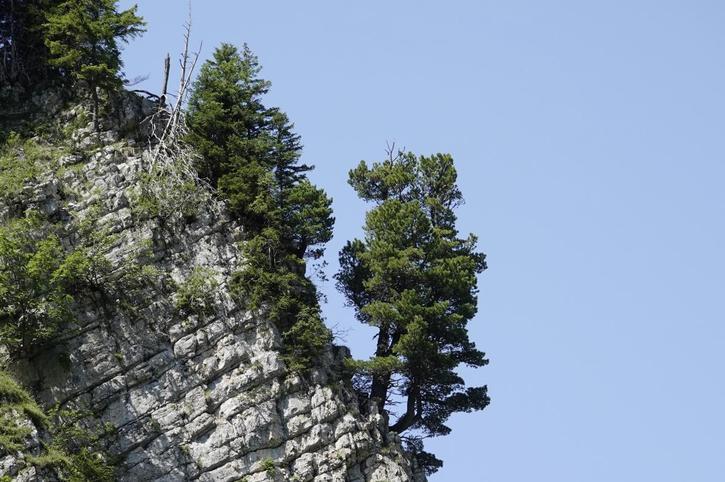 Ces milliers de pins plantés en vain